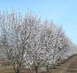 Capay Valley Almond Festival - 14MAR10